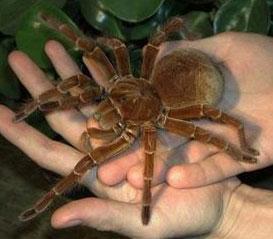Какой паук, плетущий паутину, самый крупный?