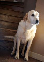 Что такое остеоартроз у собак?