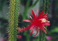 Как добиться цветения пустынного кактуса?