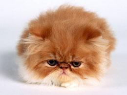 Как привести в порядок шерстку персидского кота?