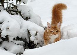 Почему кошек породы мейн-кун называют домашними рысями?