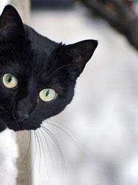 Почему черную кошку считают невезучей?