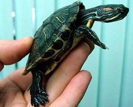 Чем кормить пресноводных черепах?