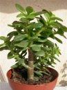 Какое растение называют «денежным деревом» и почему?