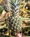 Как самостоятельно вырастить ананас ?