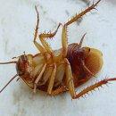 Почему вымирают тараканы?