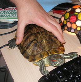 Как содержать дома черепаху?
