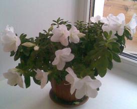 Почему не цветет азалия?