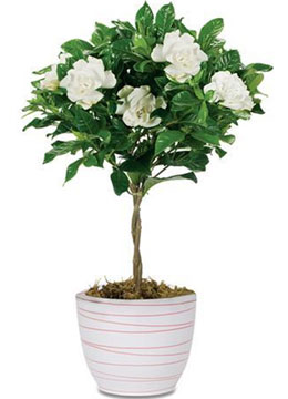 Какой цветок называют деревом любви?