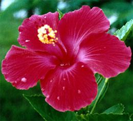 Почему не цветет гибискус (китайская роза)?