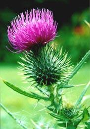Почему чертополох называют символом Шотландии?