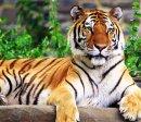 Какие комнатные цветы любит тигр?