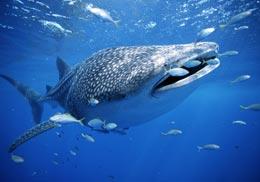 Какая самая крупная в мире рыба?