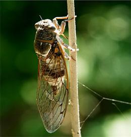 Какое насекомое считают невидимкой?