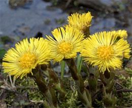 Почему цветок МАТЬ и МАЧЕХА так называется?