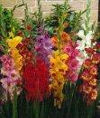 Какой цветок считали цветком гладиаторов?