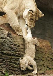 Как долго млекопитающие воспитывают детёнышей?