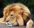 Почему «царь зверей»  - лев?