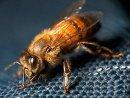 Кто такие пчелы-убийцы?