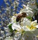 Как трудятся пчелы?