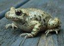 В чем отличие жабы от лягушки?