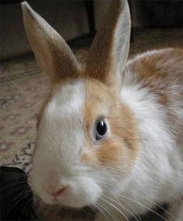 Почему  кролика нельзя поднимать за уши?
