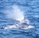 Почему киты выбрасывают в воздух фонтаны воды?