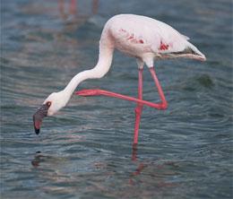 Почему фламинго стоит на одной ноге?