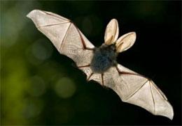 Правда ли, что летучие мыши слепые?