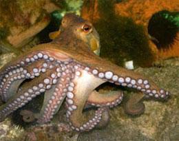 Сколько присосок у осьминога?