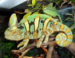 Какие физиологические особенности у хамелеона?