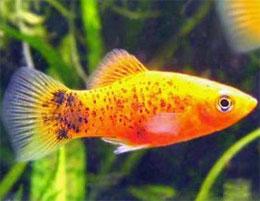 Что такое живорождение у рыб?