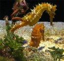 Кто такой морской конек?