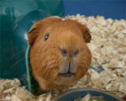 Как научить морскую свинку ходить в туалет?