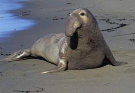 Кто такой морской слон?