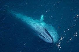 Какое животное самое крупное на Земле?