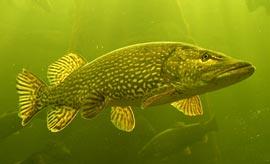 Каких хищных рыб ловят в средней полосе России?