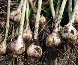 Как получить богатый урожай чеснока?
