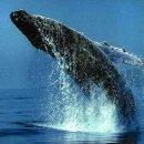 Зачем убивают китов?