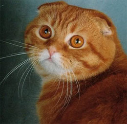 Шотландская кошка - вислоухая?