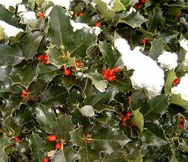 Какие растения называются «рождественскими»?