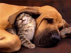 Могут ли в одной квартире ужиться кошка с собакой?