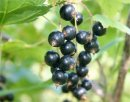 Каковы оптимальные сроки черенкования растений?