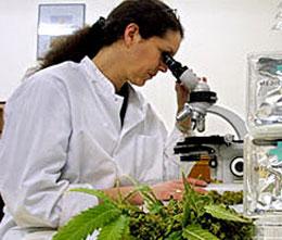 Что такое лечебная марихуана?