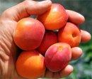 Чем полезен абрикос?
