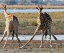 Почему жираф расставляет ноги, когда пьет?