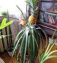 Как вырастить ананас в доме?