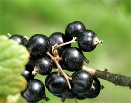 Чем полезна черная смородина?