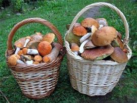 Как не отравиться грибами?