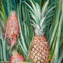 Почему комнатный ананас не хочет давать плод?